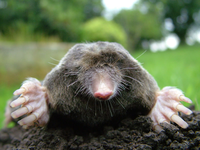 Getting Rid Of Moles 5 Important Facts