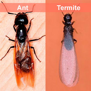 Ant and termite