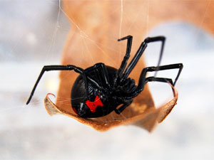 Best tips on black widow spiders extermination