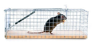 Mouse in cage trap