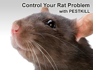 Control your rat problem with PESTKILL