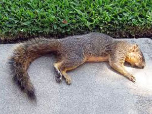 How to Poison a Squirrel IN or AROUND Your House, Yard and Garden?