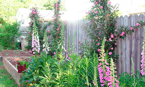 Digitalis Candy Mountain in your yard