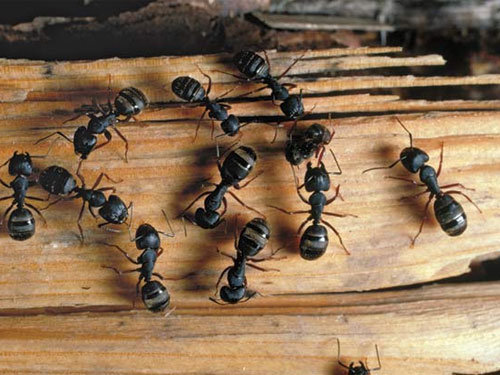 Discovering Carpenter Ants in Your House
