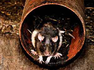 Rat in drainage system