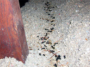 Rats In Attic Removal Cost Get Rid Of Rodents