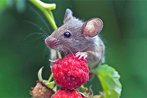 Mouse in your garden