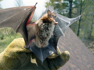 Bat removal: essential steps