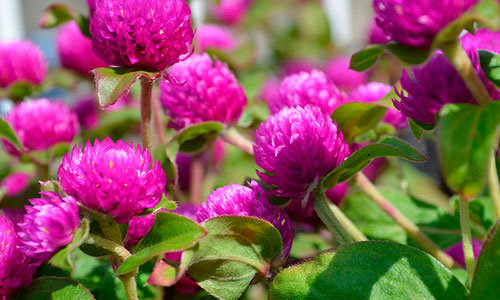 Globe amaranth flowers