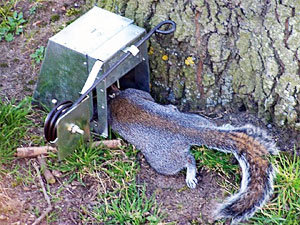 Ground squirrel trap that kill