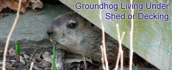 Groundhog living under shed or decking