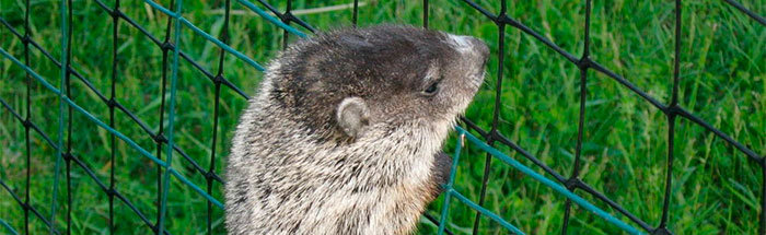 Groundhog climb over fence