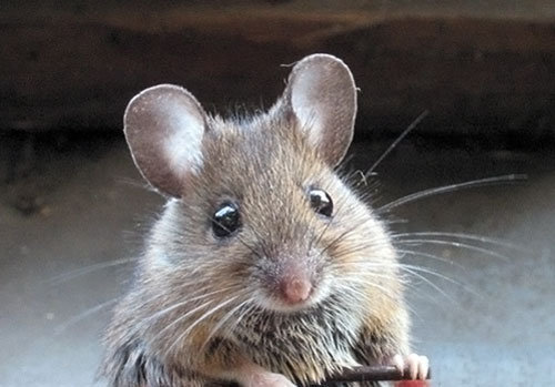 How do You Get Rid of Mice: Helpful Advice
