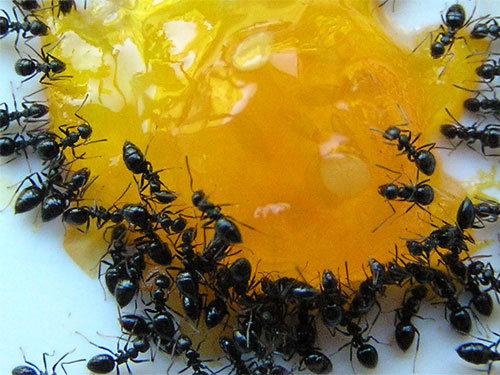 How To Get Rid Of Ants In The Kitchen Without Insecticides