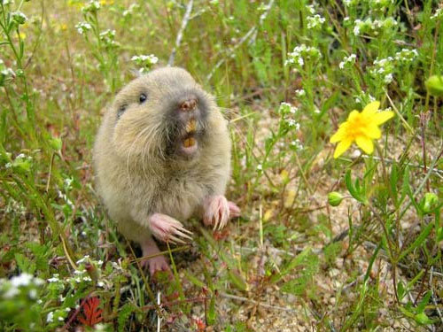 How to Get Rid of Gophers: Pocket Gopher