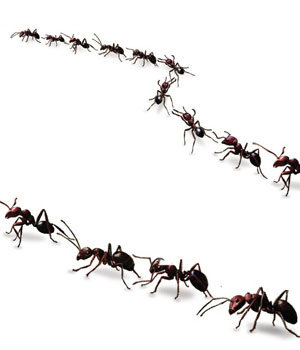 How to Get Rid of Sugar Ants What Traps to Set