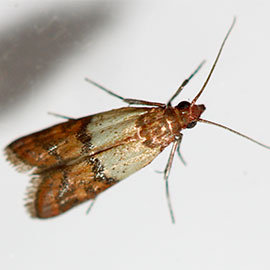 Indian Meal Moths control