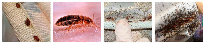 Bed bugs home infestation