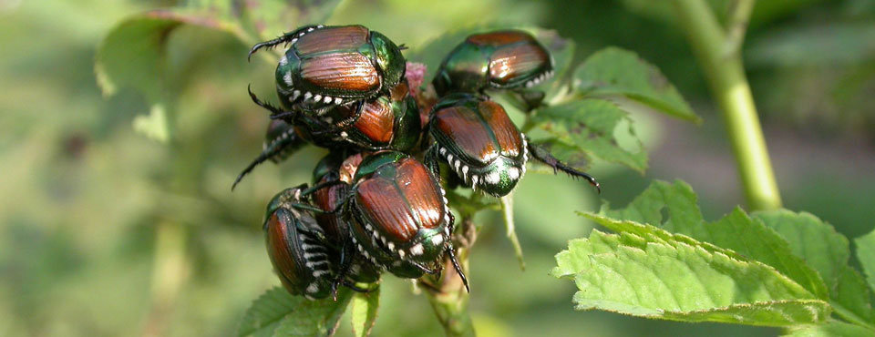 Identifying and Removing Japanese Beetles