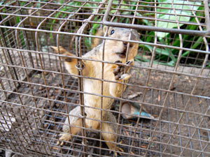 Live cage squirrels trap