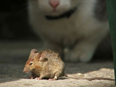 Mice: How to Get Rid of Rodents