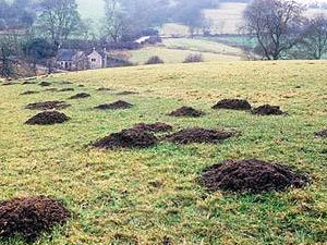 Get rid of moles in your yard