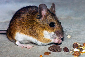 Mouse eating raisin