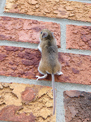 Mouse climb up the wall