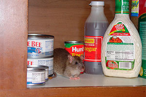 Mouse in the kitchen cabinet