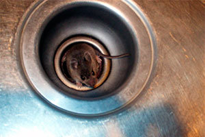 Mouse in sink