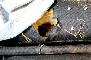 Mice nest in old funiture