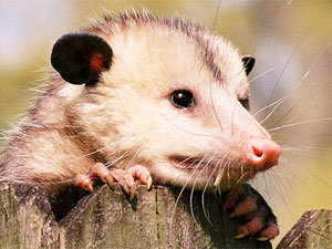 Tips and traps on how to get rid of possums in your yard and home