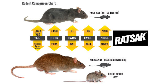 How To Crack Rats In Attic Problem Identification And Removal