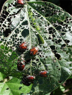 The herbs is under attack by Japanese Beetles
