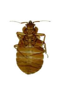Bed Bugs: Try to Examine Thoroughly