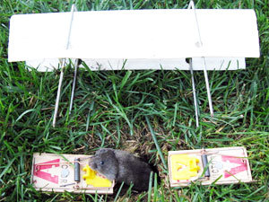 Trapping voles