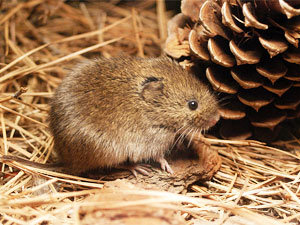 Remove Voles from Your House