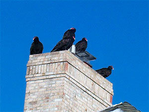 Turkey vultures problems
