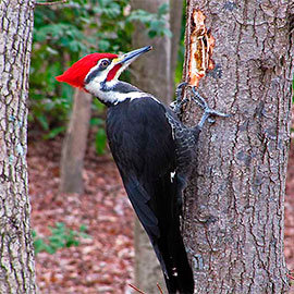 Woodpeckers control